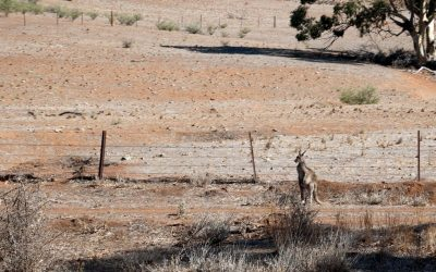 Roo Culls Easier Thanks To Red Tape Cut