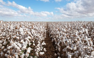 Call To Ban Cotton Exports A 'Senseless Stunt'